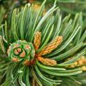 Plant Profile: Pinon