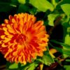 """Calendula officinalis"" ""skin care"" lotion salve"