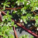Plant Profile: Wild Greens
