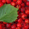 Hawthorn, cardiac tonic, crataegus