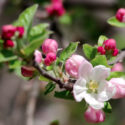Foraging in Old Orchards