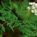 Plant Profile: Osha