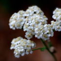 Plant Profile: Yarrow