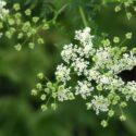Plant Profile: Poison Hemlock