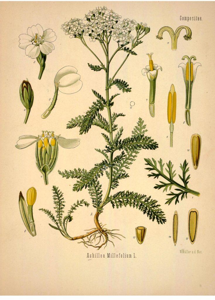 Yarrow (Achillea millefoilium)