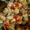 Plant Profile: Ashwagandha Root