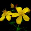 Plant Profile: St Johns Wort