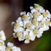 Yarrow in Herb Formulas