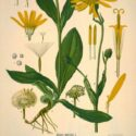 Old Fashioned Botanical Prints – Part 2