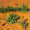 Canaigre, Desert rhubarb, Rumex hymenosepalus