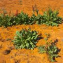 Plant Profile: Desert Rhubarb