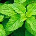 Plant Profile: Lemon Balm