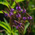 Plant Profile: Verbena