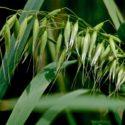 Plant Profile: Milky Oats