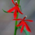 Plant Profile: Lobelia