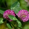 Red Clover – A Student Monograph